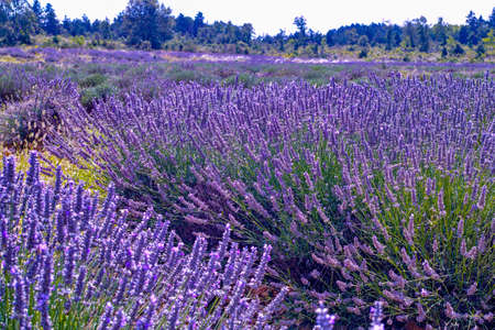 Lavender of Provence, summer fields with blossoming purple lavender plants in Van de Sault, Vaucluse, France, nature background