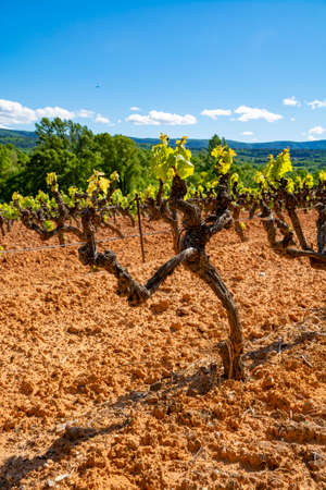 Production of rose, red and white wine in Luberon, Provence, South of France, landscape with vineyard on ochre soil in early summer Stock Photo