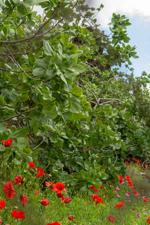 Cultivation of important ingredient of Italian cuisine, plantation of pistachio trees with ripening pistachio nuts near Bronte, located on slopes of Mount Etna volcano, Sicily, Italy Imagens - 124903789