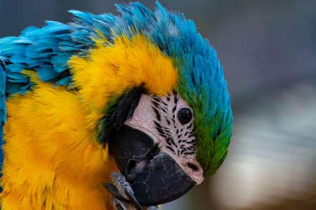 Perroquet bleu et jaune d'ara, oiseau exotique coloré à longue queue se bouchent Banque d'images
