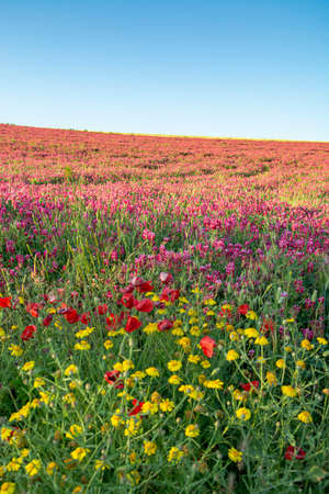 Flora of Sicily, colorful flossom of wild flowers, peas and French honeysuckle, pink sulla flowers on meadow in mountains, production of natural bio honey, floral background Reklamní fotografie - 124903807
