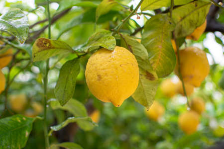 Ripe yellow lemons citrus fruits hanging on lemon tree