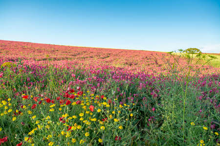 Flora of Sicily, colorful flossom of wild flowers, peas and French honeysuckle, pink sulla flowers on meadow in mountains, production of natural bio honey, floral background Reklamní fotografie