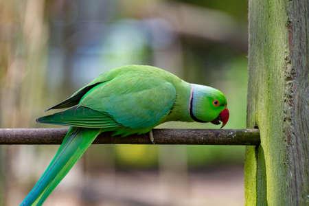 Green Alexandrine parakeet, living in Asian region, close up Stockfoto