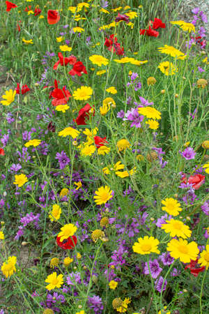 Flora of Sicily, colorful flossom of wild flowers on meadow in mountains close up, production of natural bio honey. Reklamní fotografie - 124904152