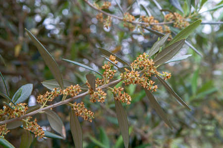 Seasonal blossom of olive trees on plantanions in Italy close up