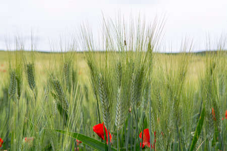 Fields with unripe green pasta durum wheat and red poppies on Sicily, Italy close up