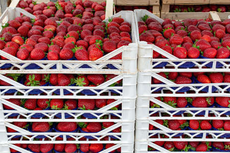 Many transportation boxes with fresh ripe strawberry, ready for delivery to market Imagens