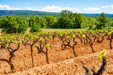 Production of rose, red and white wine in Luberon, Provence, South of France, landscape with vineyard on ochre soil in early summer 免版税图像