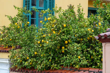 Ripe yellow lemons, tropical citrus fruits hanging on lemon trees in garden witn view on house and blue window in rainy day Imagens