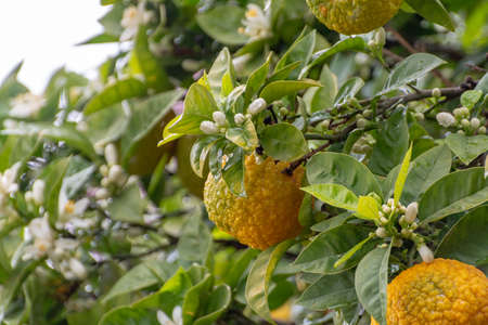 Citrus fruits of sour orange bergamot riping on blossoming thee close up Imagens