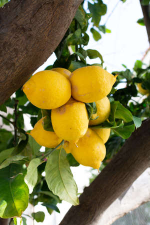 Ripe big yellow lemons, tropical citrus fruits hanging on tree ready to harvest close up