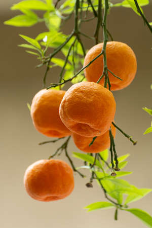 Ripe orange mandarine citrus fruit hanging on tree close up Imagens