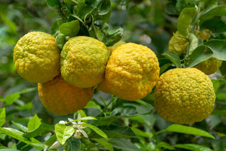 Citrus fruits of sour orange bergamot riping on thee close up Imagens