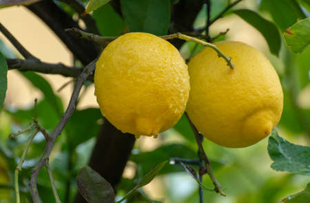 Ripe yellow lemon, tropical citrus fruit hanging on tree with water drops in rain close up Imagens