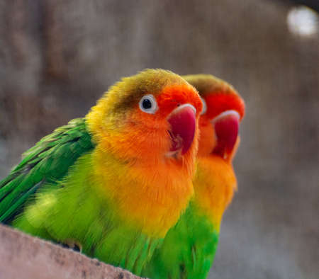 Colorful Fichers lovebirds from Tanzania, Africa close up