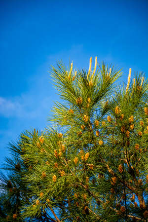 Green pine tree with young cones and blue sky copy space close up