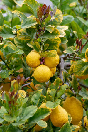Ripe yellow lemons, tropical citrus fruits hanging on tree with water drops in rain close up