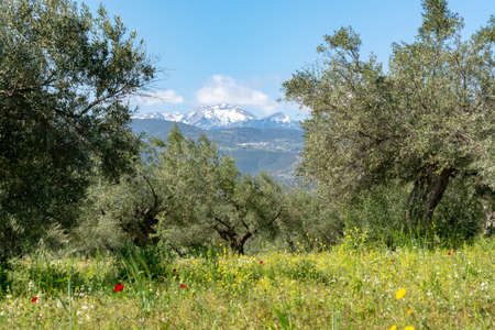 Countryside landscape with olive trees grove in spring season with colorful blossom of wild flowers