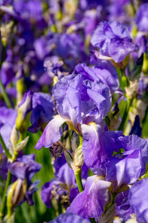 Lilac iris flowers, spring blossom of colorful irises in Provence, South of France, nature background Imagens