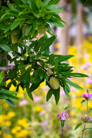 Young green almonds nuts riping on almond tree and colorful wild summer flowers close up