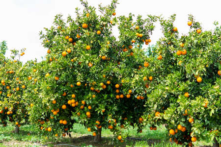 Orange citrus fruit plantations with rows of orange trees on Peloponnese, Greece, new harvest of sweet juicy oranges Imagens