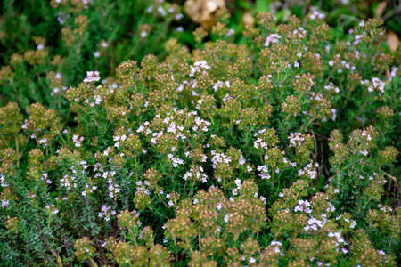 Blossom of wild aromatic kitchen herb Thyme in Provencal mountains, ingredient of Herbs of Provence, nature background