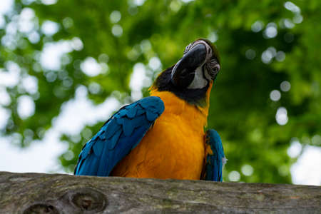 Macaw blue-and-yellow parrot, long-tailed colorful exotic bird  close up