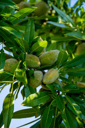 Young green almonds nuts riping on almond tree close up