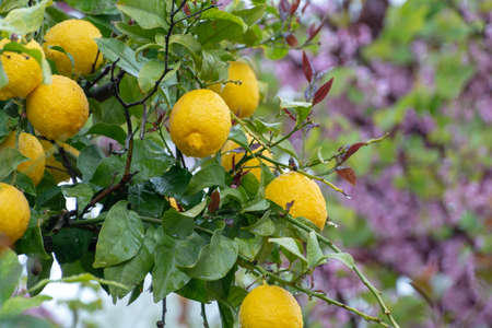 Ripe yellow lemon, tropical citrus fruit hanging on lemon tree with water drops in rain with pink blossoming tree on background