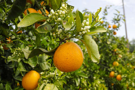 Orange citrus fruit plantations on Peloponnese, Greece, new harvest of sweet juicy oranges