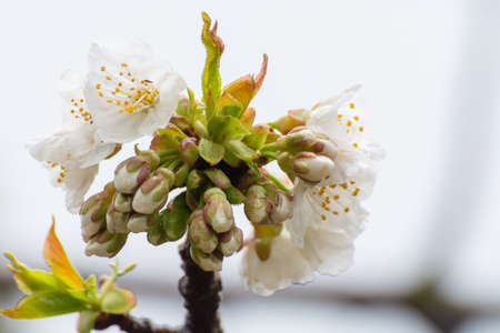 White blossom of sour cherry in garden in spring, floral background Reklamní fotografie