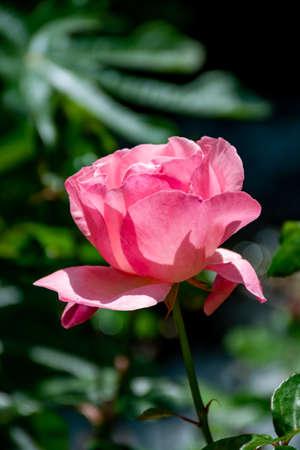 Big pink rose flower growing in garden close up 写真素材