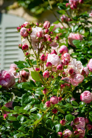 Blossom of pink rose flowers growing in castle garden in Provence, France, in sunny day