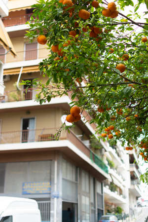 Ripe orange mandarine citrus fruit hanging on tree in Athens, Greece