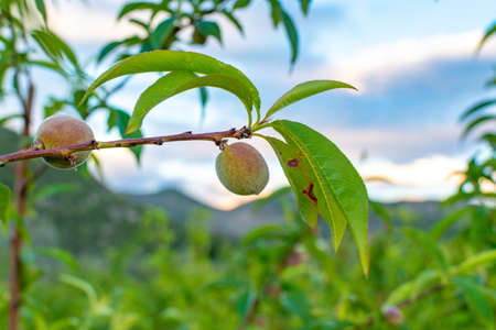 Small unripe apricots fruits riping on apricot tree in spring, farming in Greece Reklamní fotografie
