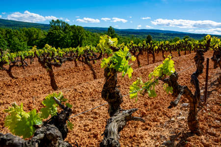 Production of rose, red and white wine in Luberon, Provence, South of France, landscape with vineyard on ochre soil in early summer Imagens