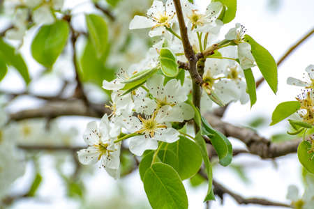 White blossom of sour cherry in garden in spring, floral background Imagens