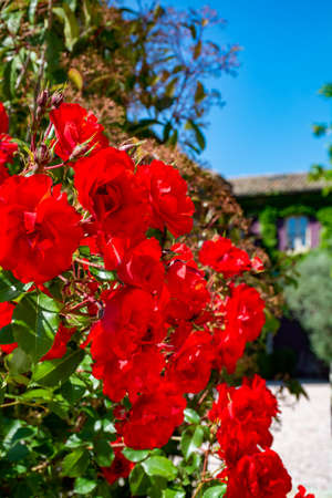 Blossom of red rose flowers growing in garden in Provence, France, in sunny day