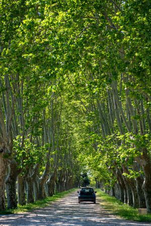 Scenic Provencal large old plane trees alley in summer and black car