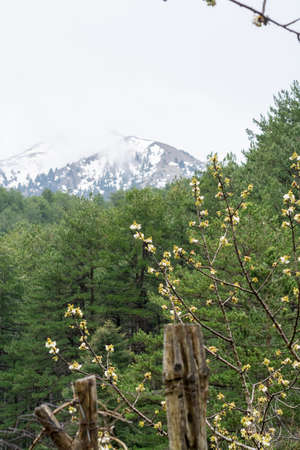 White blossom of sour cherry in greek mountains in spring, floral background