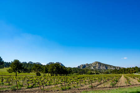 Production of rose, red and white wine in Alpilles, Provence, South of France, view on vineyard in early summer Imagens