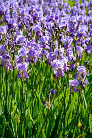 Lilac iris flowers, spring blossom of colorful irises in Provence, South of France, nature background Stock Photo