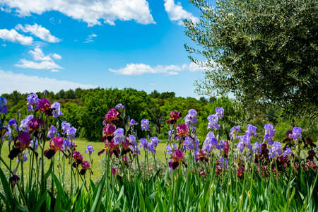 Lilac iris flowers, spring blossom of colorful irises in Provence, South of France, nature background Reklamní fotografie