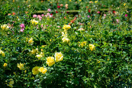 Blossom of colorful roses plants growing in castle garden in Provence, France, in sunny day