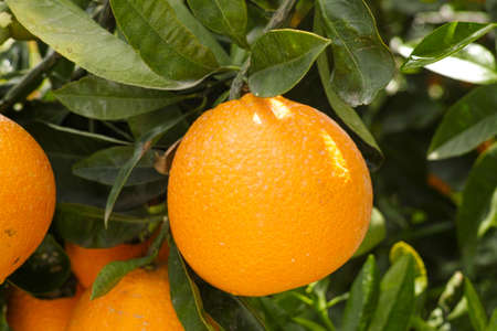 Orange citrus fruit plantation on Peloponnese, Greece, new harvest of sweet juicy oranges
