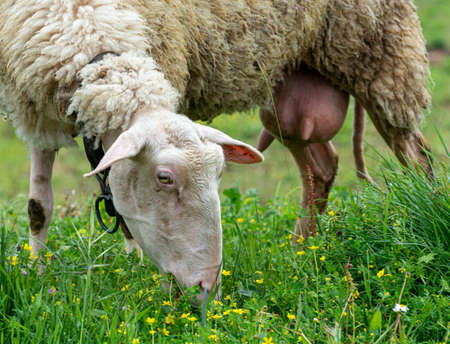 Organic cheese farm, sheep grazing green grass on pasture in Greece close up