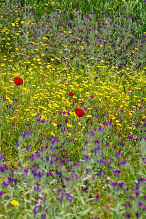 Colorful floral background, meadow with wild purple, yellow and red poppy flowers, wallpaper