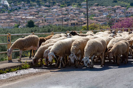 Driving car on roads of Peloponnese, flock of sheeps cross road in Greece, vacation and tourist destination