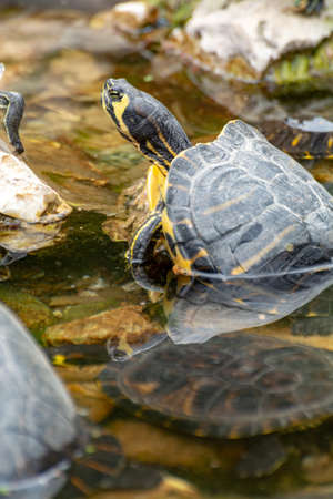 Yellow-bellied sliders, land and water turtles, sunbathing in pond close up Фото со стока